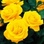 Троянда Golden Wedding (саджанець)