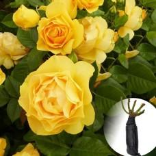 Роза Golden Wedding