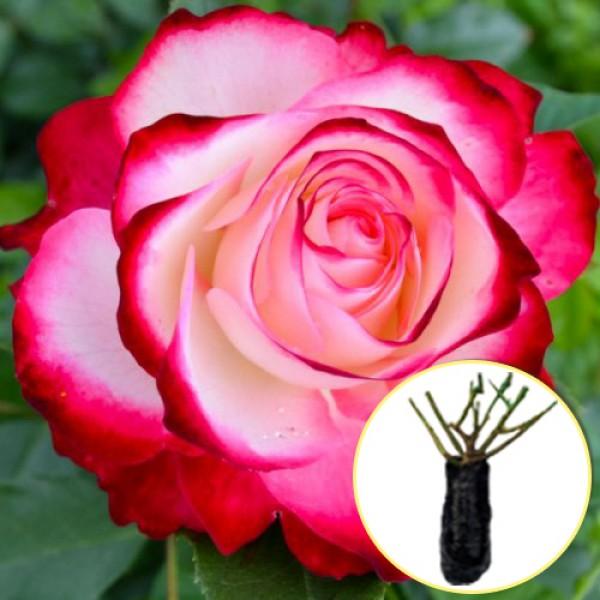 Троянда Jubile du Prince de Monaco (саджанець)
