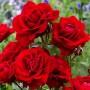 Троянда Lilli Marllene (саджанець)