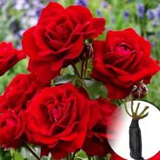 Роза Lilli Marllene