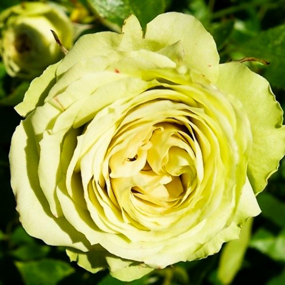 Троянда Lovely Green (саджанець)