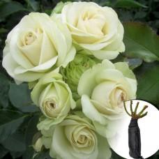 Роза Lovely Green