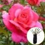 Троянда Marco (саджанець)