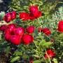 Роза Morsdag Red (саженец)
