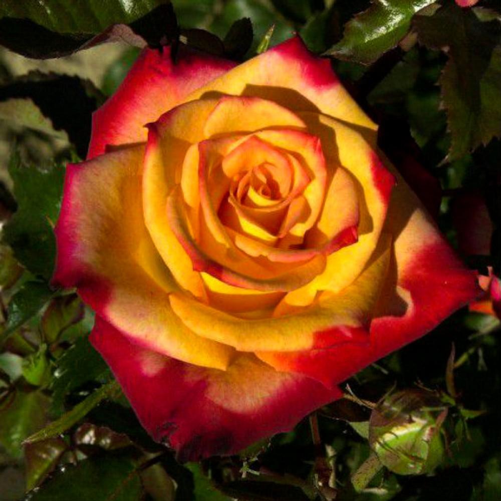 Троянда Mein Munchen (саджанець)