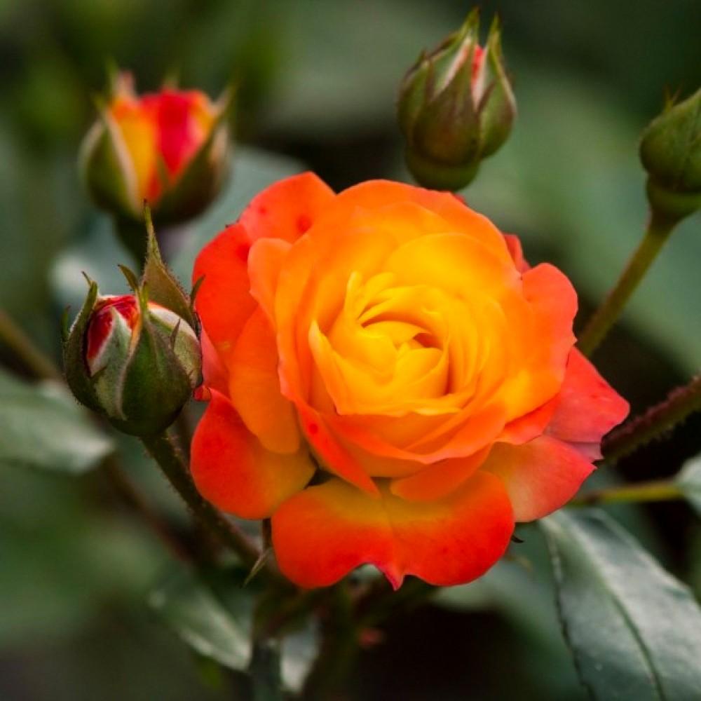 Троянда Rumba (саджанець)