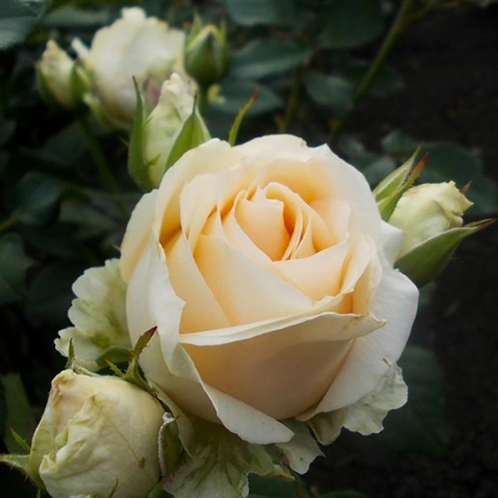 Троянда Avalanche (саджанець)