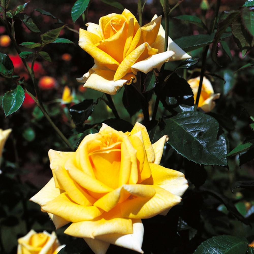 Троянда Berolina (саджанець)