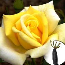 Троянда Berolina