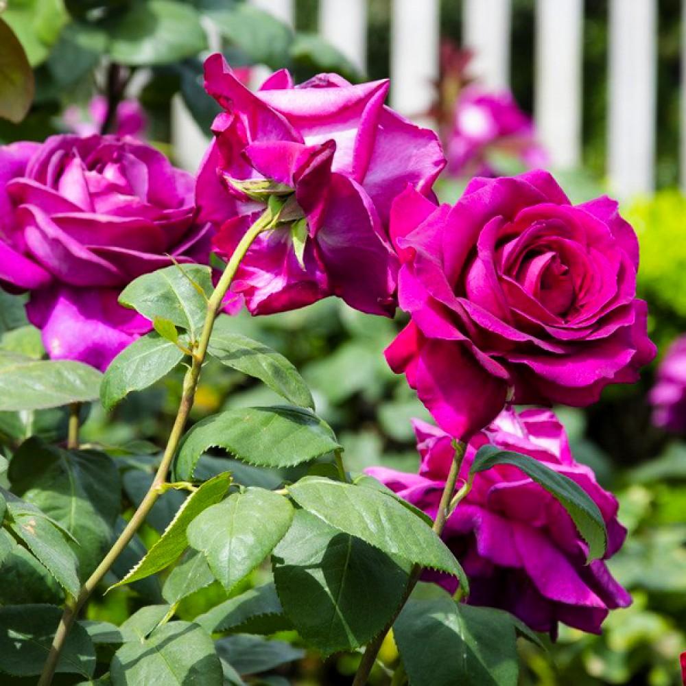 Троянда Big Purple (саджанець)