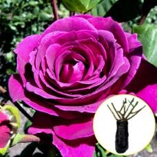 Троянда Big Purple