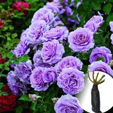 Троянда Blue Moon