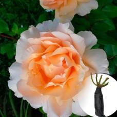 Троянда Casanova