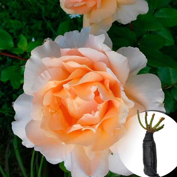 Троянда Casanova (саджанець)