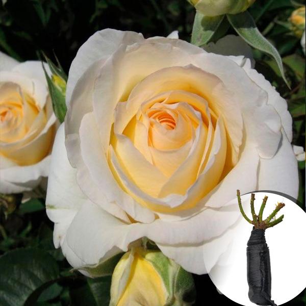 Троянда Chopin