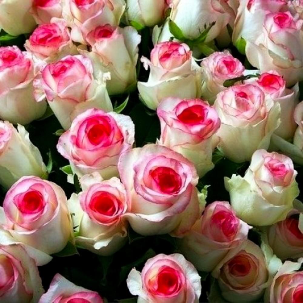 Роза Dolce Vita (саженец)