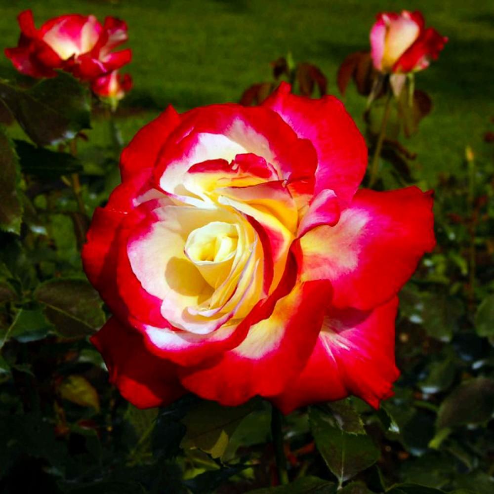 Троянда Double Delight (саджанець)