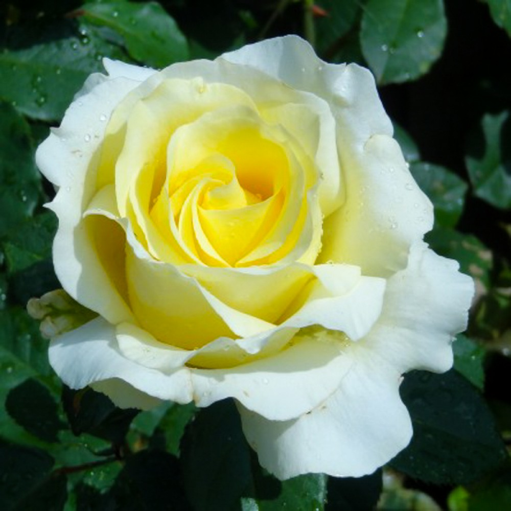 Троянда Elina (саджанець)