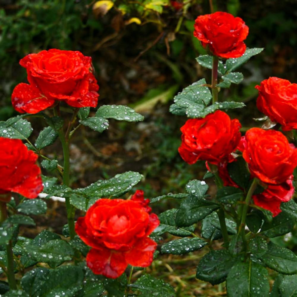 Троянда El Toro (саджанець)