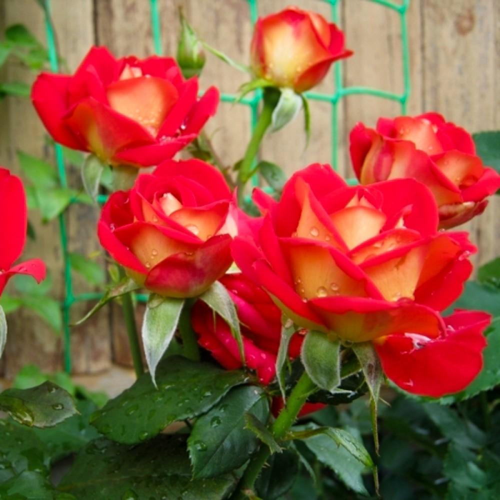 Троянда Friendship (саджанець)