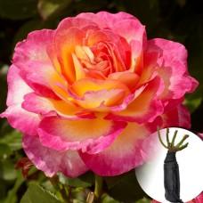 Троянда Gorgeous