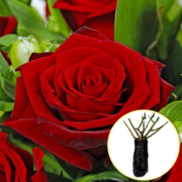 Троянда Grand Prix (саджанець)