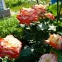 Троянда Imperatrice Farah (саджанець)