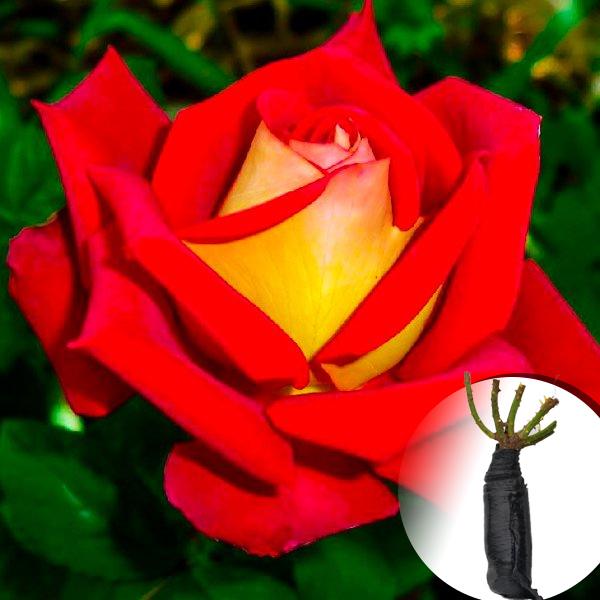 Троянда Lustige (саджанець)
