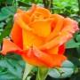 Троянда Monika (саджанець)