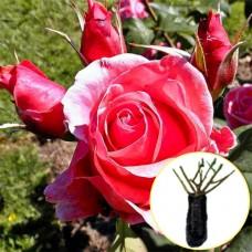 Троянда Montezuma