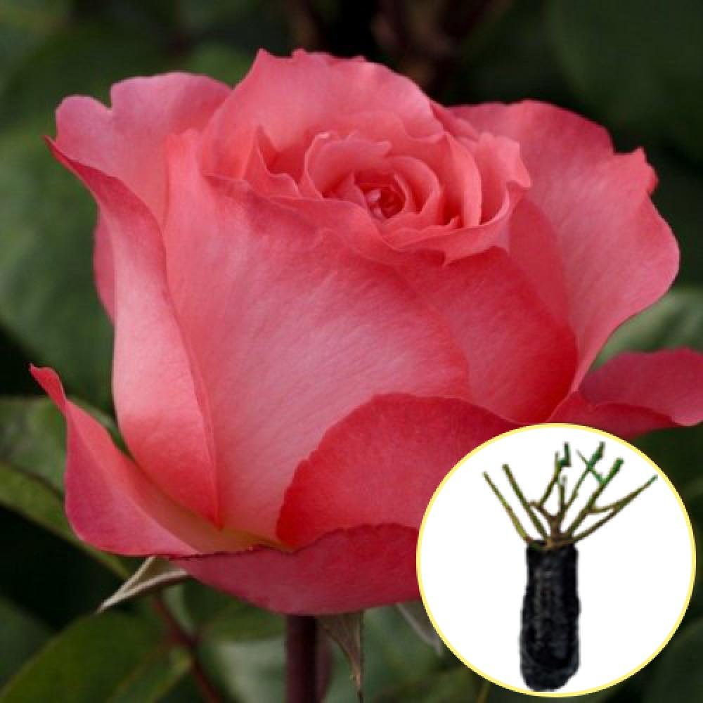 Троянда Panthere Rose (саджанець)