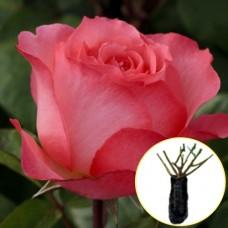 Троянда Panthere Rose
