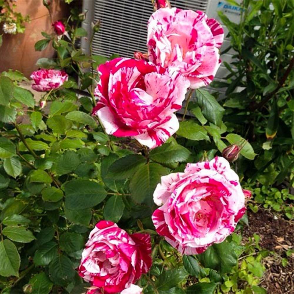 Троянда Papageno (саджанець)
