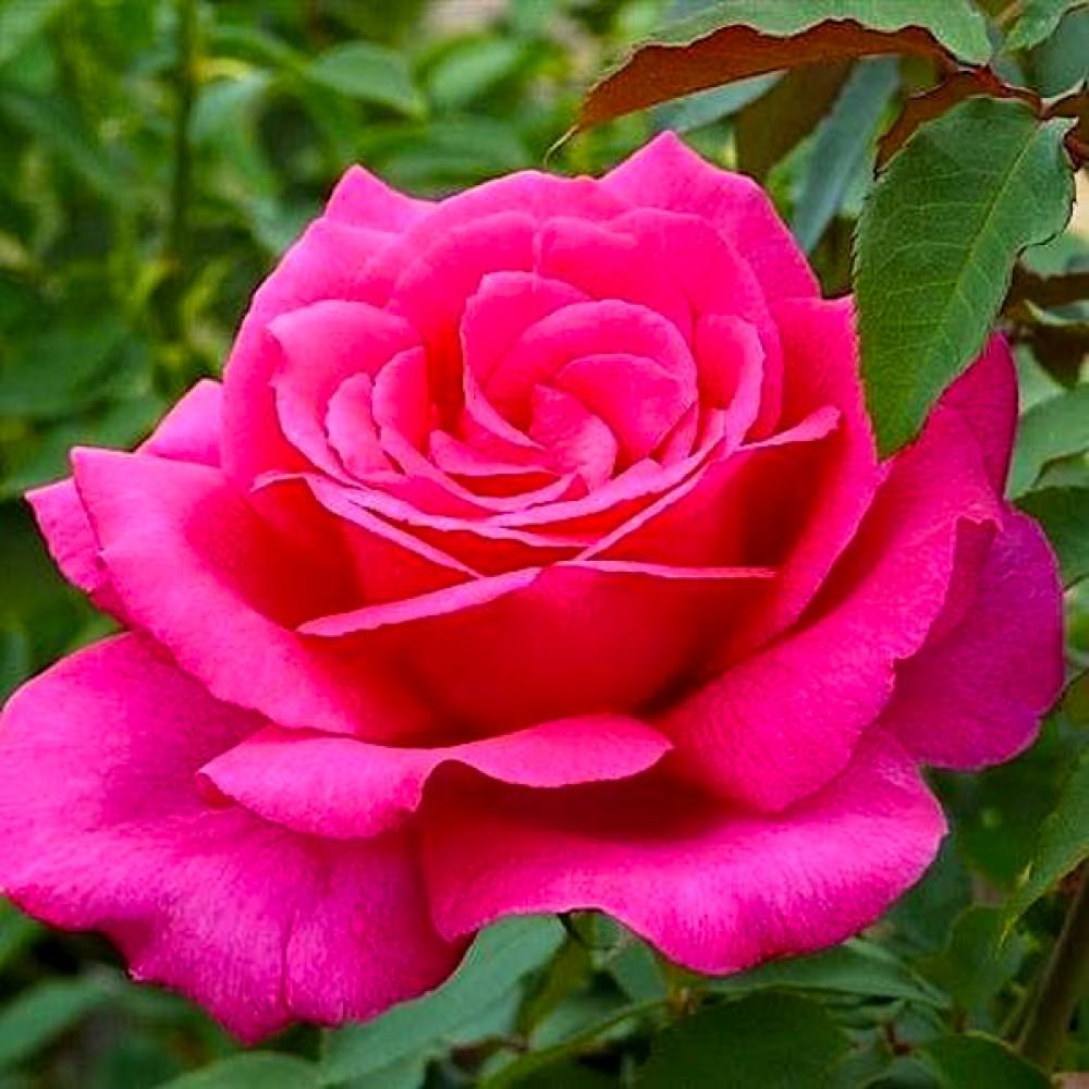 Троянда Parole (саджанець)