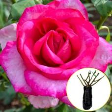 Троянда Parole