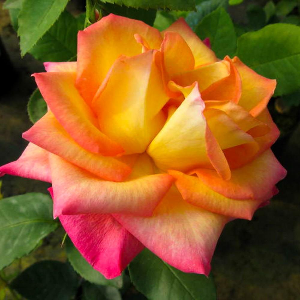 Троянда Red Gold (саджанець)