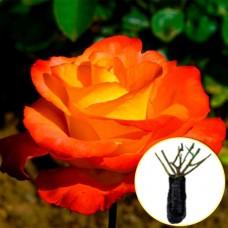 Троянда Red Gold