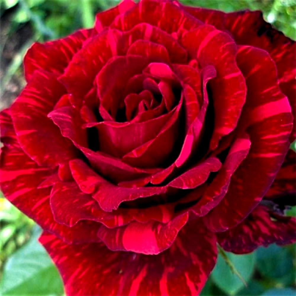 Троянда Red Intuition (саджанець)