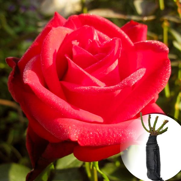 Троянда Sophia Loren (саджанець)