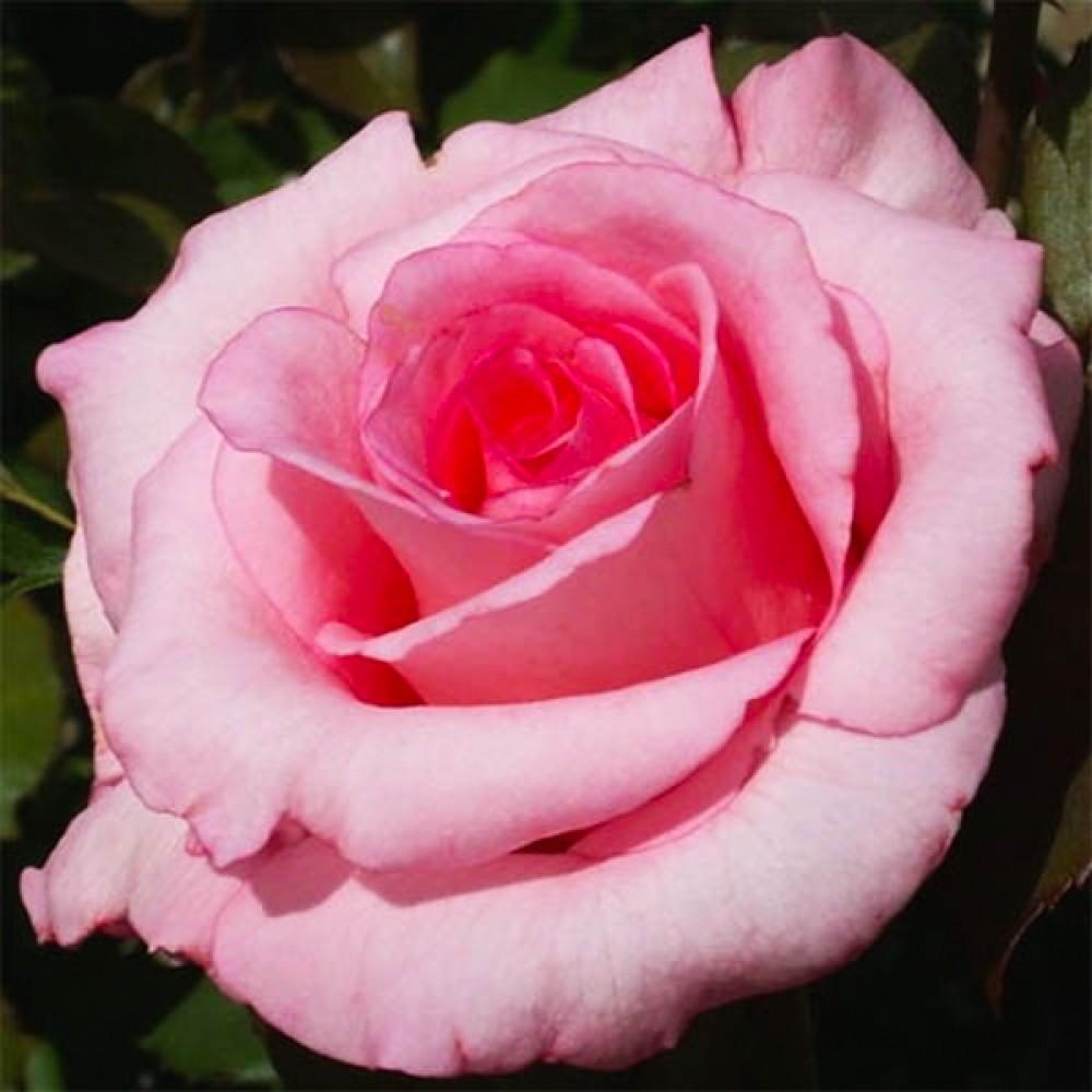 Троянда Sylvia (саджанець)