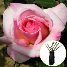 Троянда Sylvia