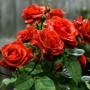 Троянда Terracotta (саджанець)