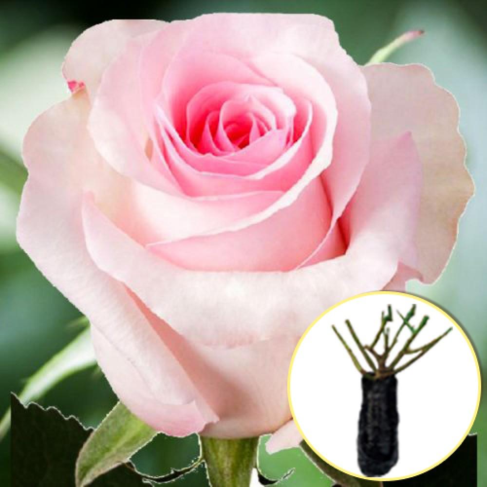 Троянда Vivaldi (саджанець)
