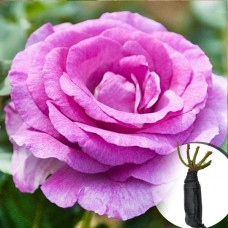 Троянда Violette Parfume