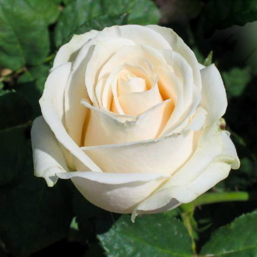 Троянда Vendela (саджанець)
