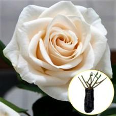 Троянда Vendela