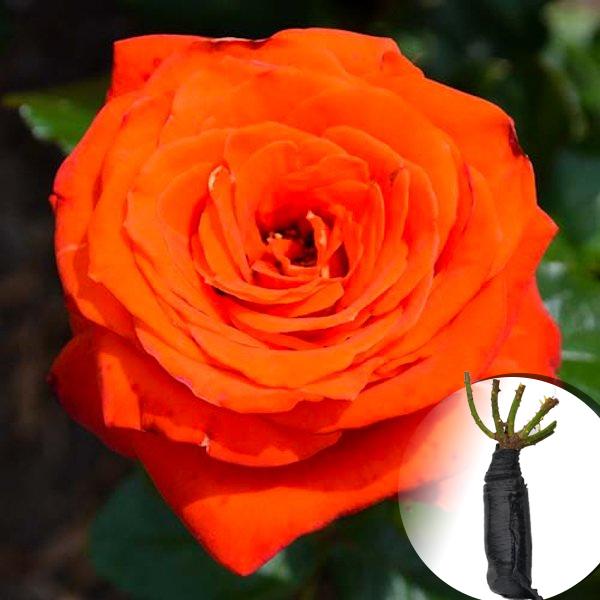Троянда Verano (саджанець)