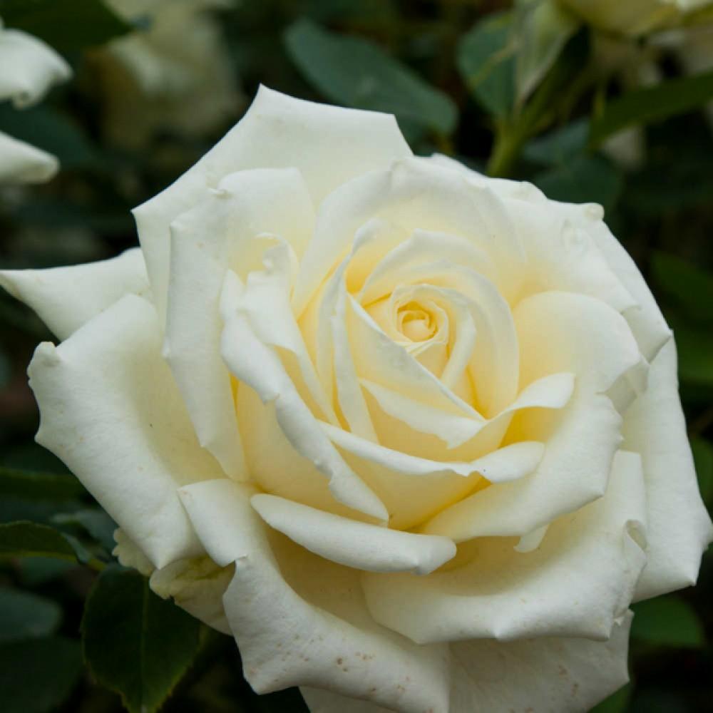 Троянда White Symphony (саджанець)