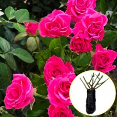Троянда Lovely Lydia